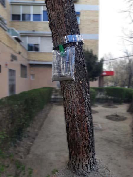 Anillo en pino para procesionaria del pino.